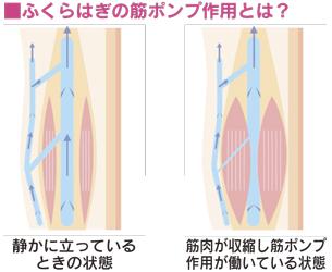 ■ふくらはぎの筋ポンプ作用とは?