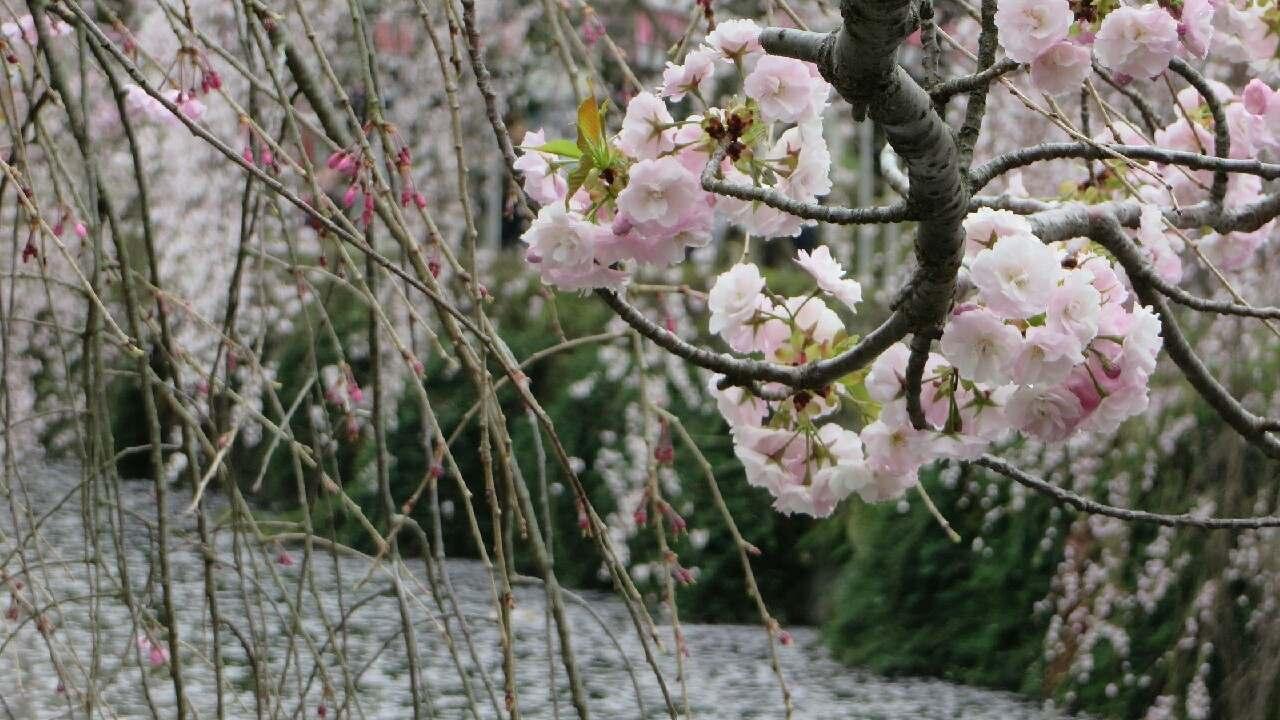 海鮮浜焼き食べ放題と金目鯛弁当付!しだれ桜と小田原城へバスツアー♪