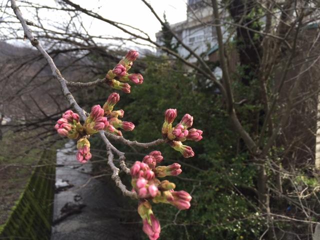 【桜】x【ばんえつ物語】x【エメラルドグリーンの温泉】@新潟・咲花温泉
