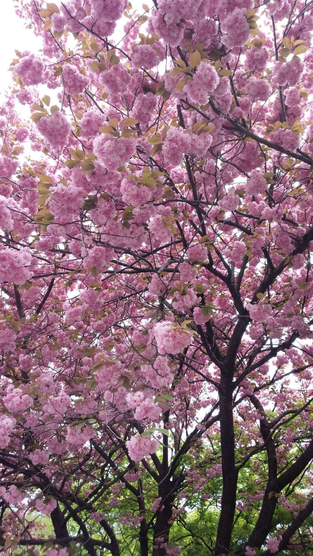 札幌からの桜!!