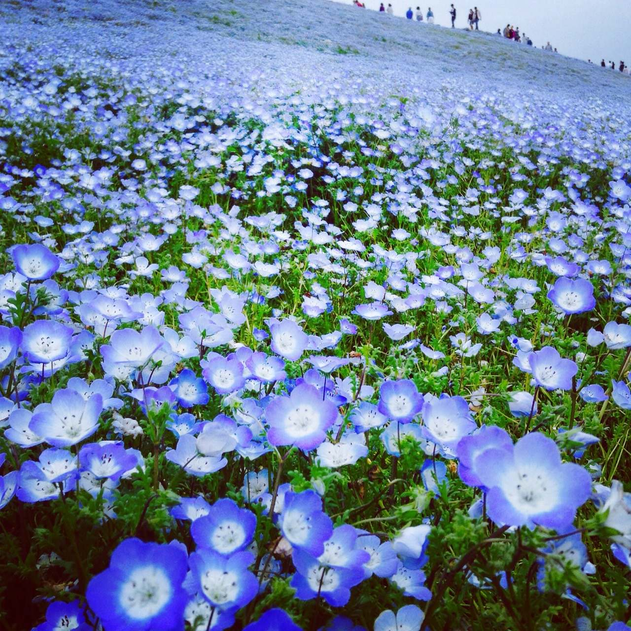 丸ごとまりんぼ☆うわさの青い丘!ネモフィラを見に行くの巻
