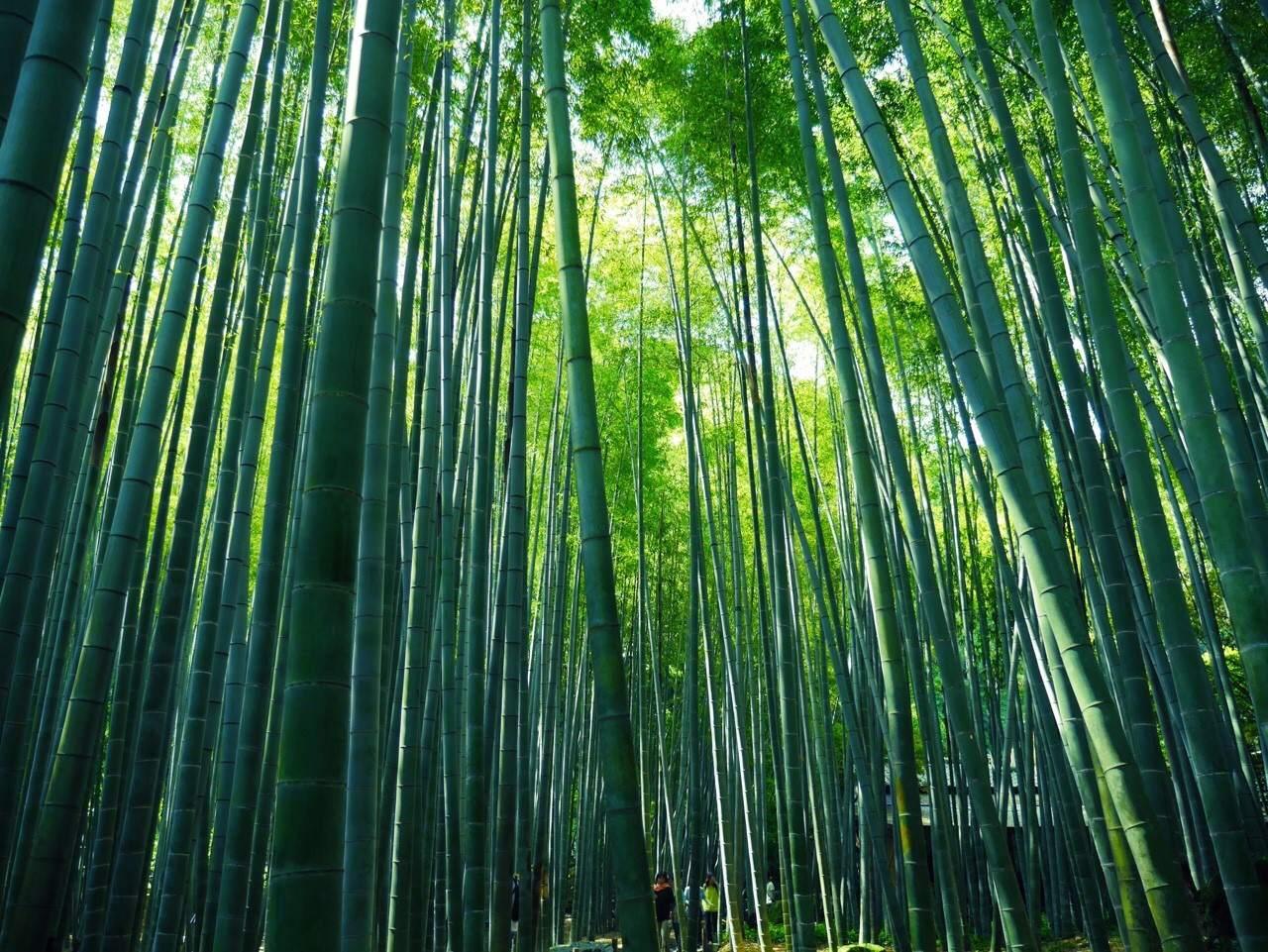 京都だけじゃない!鎌倉で竹林に癒されよう