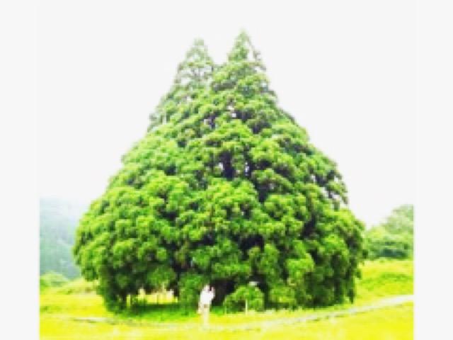 トトロの木に会いに行こう!小杉の大杉【パワースポット】