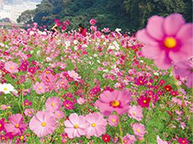 色鮮やか! 100万本のコスモス 「くりはま花の国」