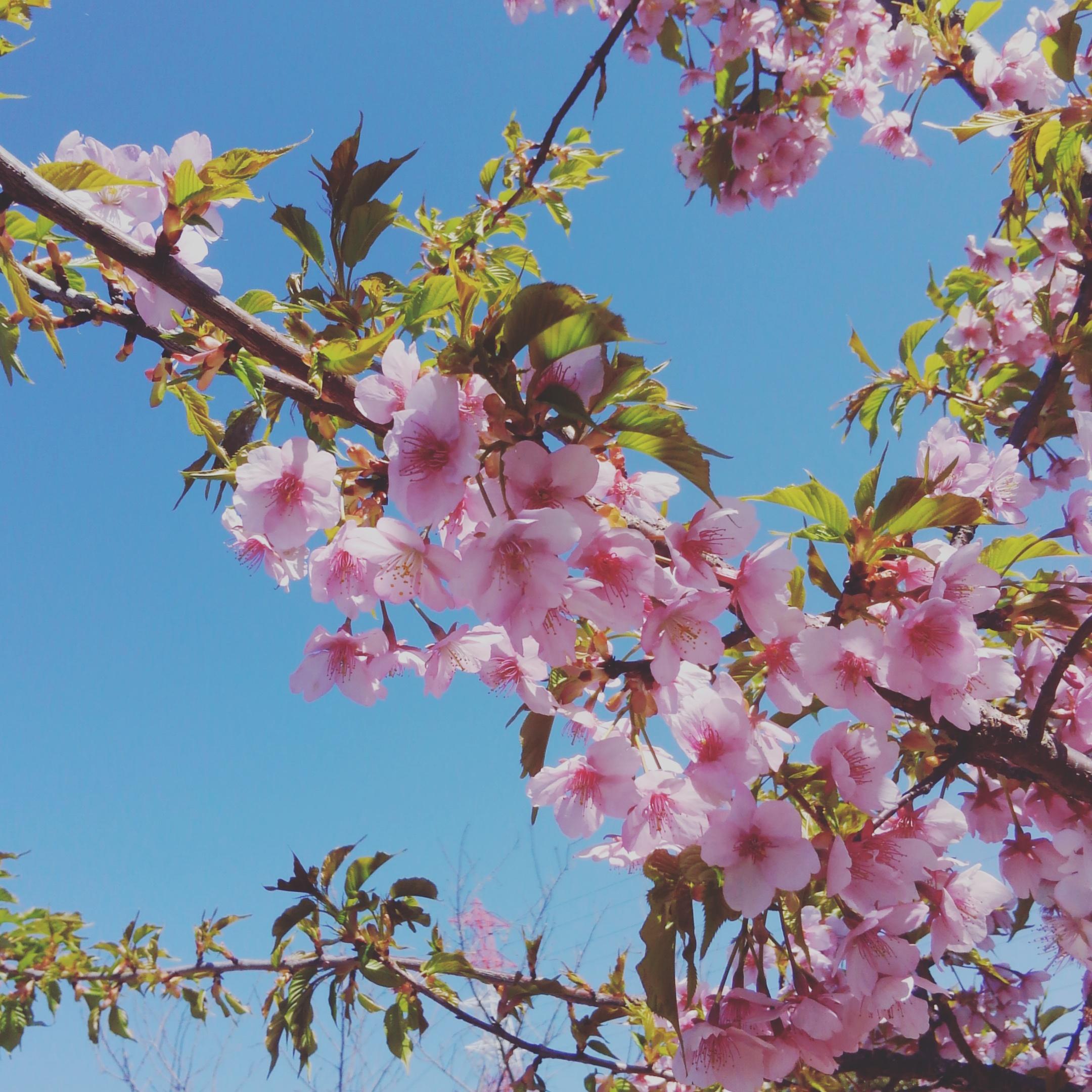 ☆河津桜をお花見~戸田川緑地公園~☆