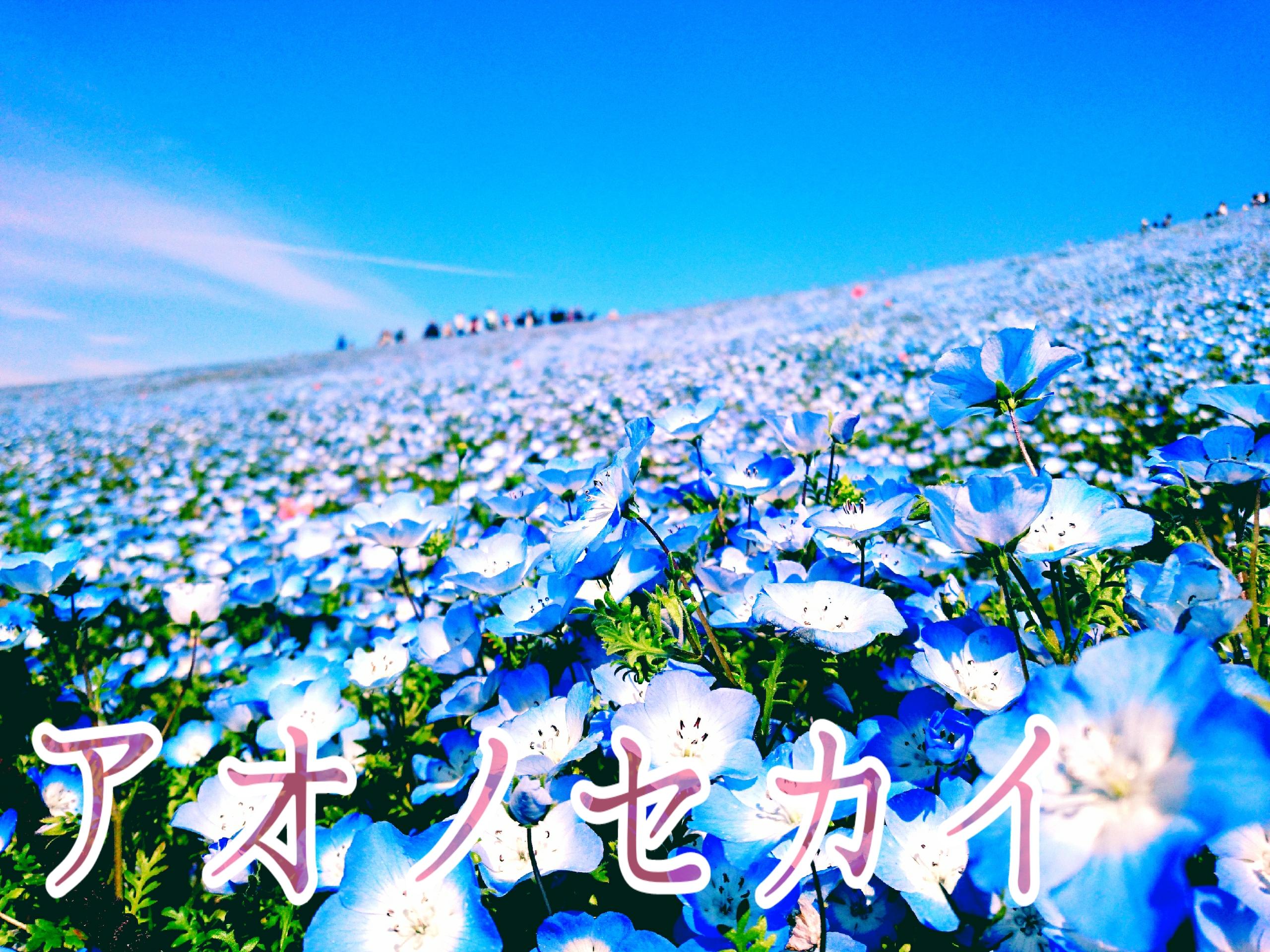 【GW】青の絶景!!ネモフィラを見に茨城へ♡