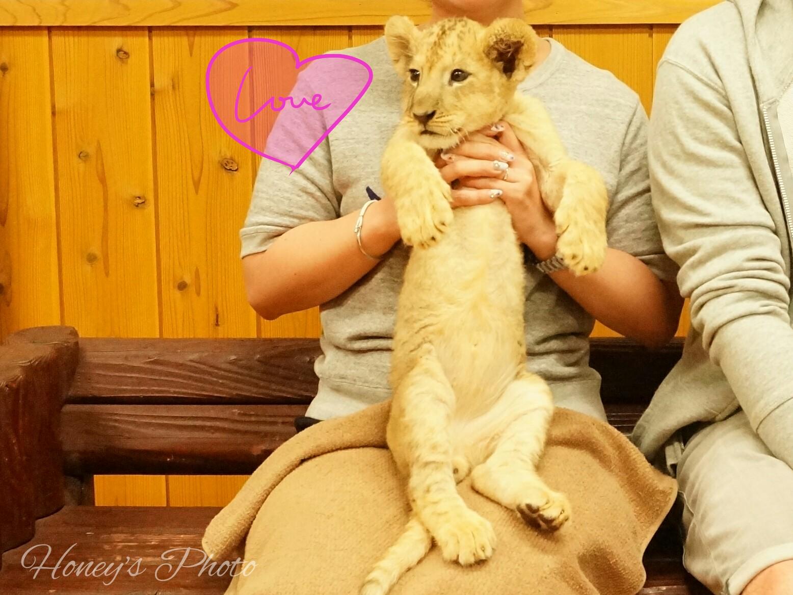 ☆今だけ!赤ちゃんライオン抱っこしちゃお@富士サファリパーク☆