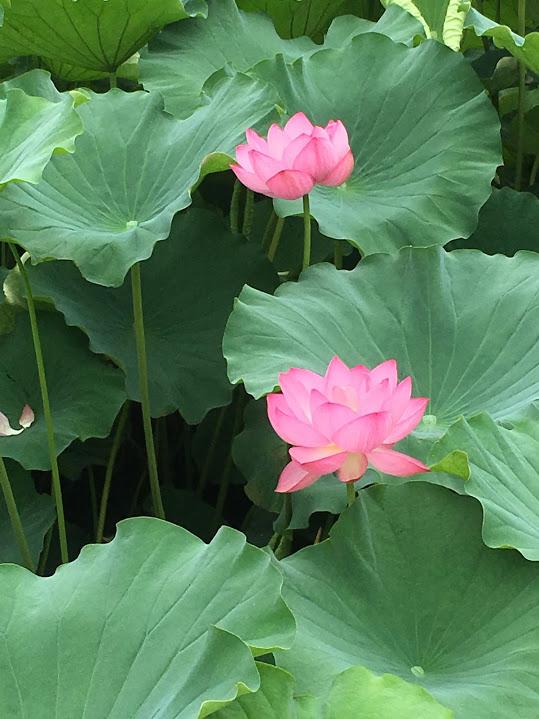 今が見ごろ!上野・不忍池の蓮のお花見