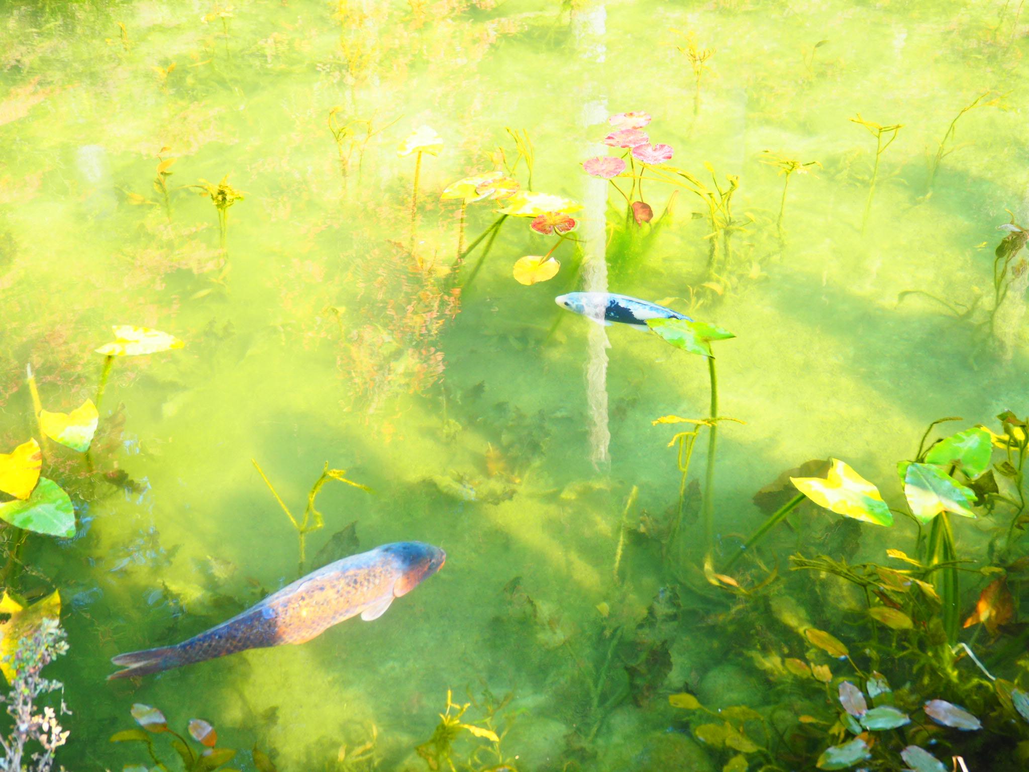 噂のモネの池(*´-`)