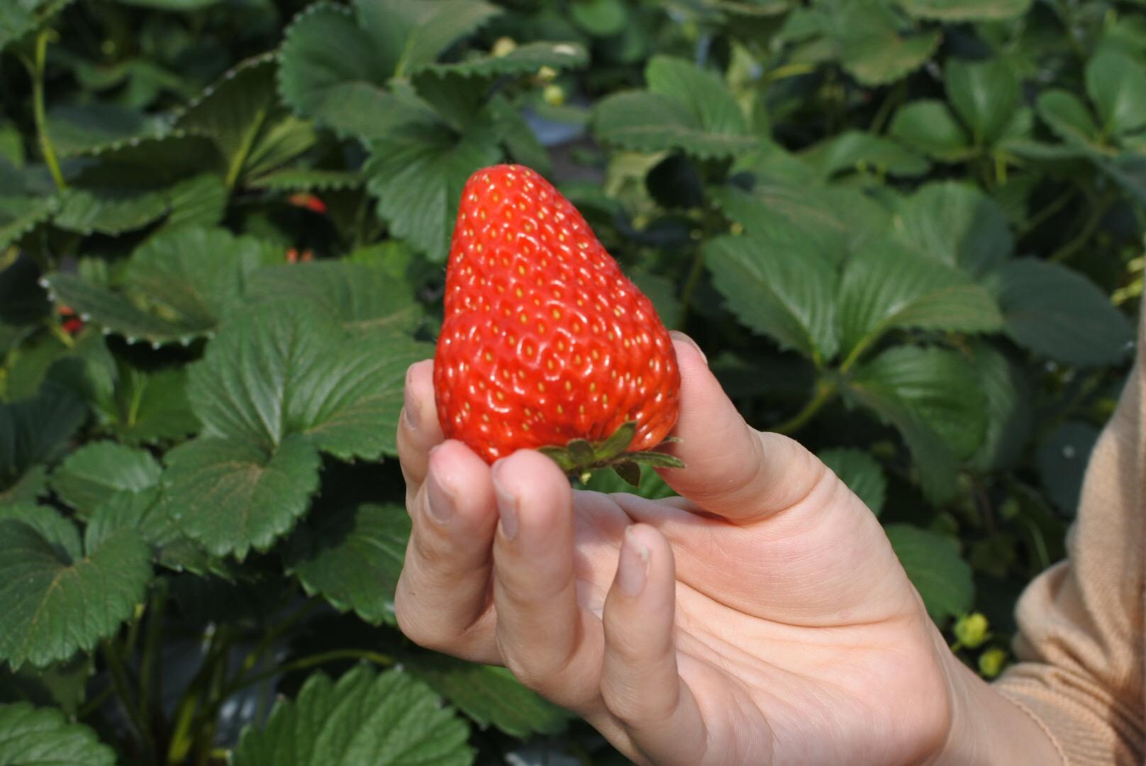 横浜市内でイチゴ狩り♪駅からすぐ!ゆめが丘農園に行く★