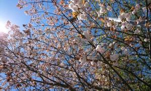 【桜】遅咲きの品種