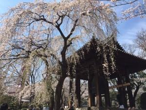 【お花見レポ②2017】芝公園✿増上寺!しだれ桜と寺の風情がステキ♡