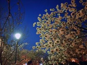 大阪府内で1位のお花見スポット!造幣局の「桜の通り抜け」