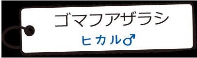 ゴマフアザラシ/ヒカル♂