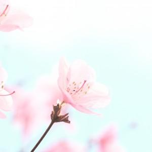 【花×登山】シーズン到来!春の花アカヤシオをおいかけて