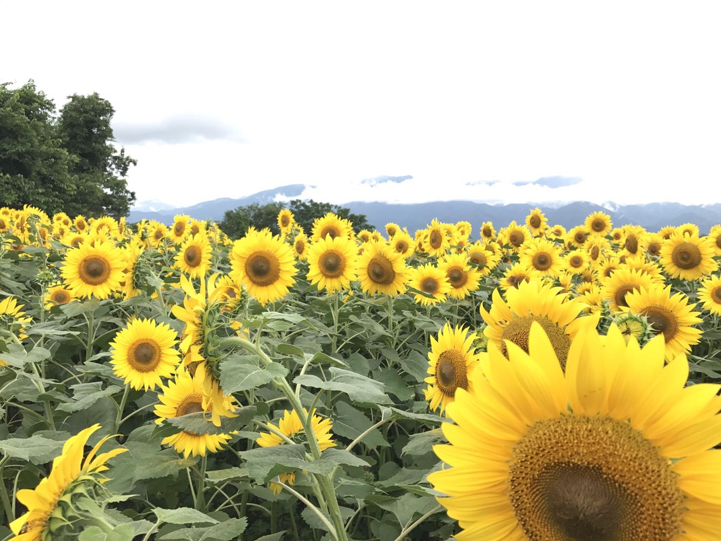 夏を感じるひまわり畑!