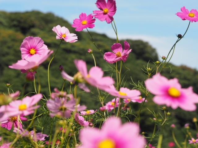 《秋の絶景①》コスモスが100万本!入園無料のくりはま花の国へ