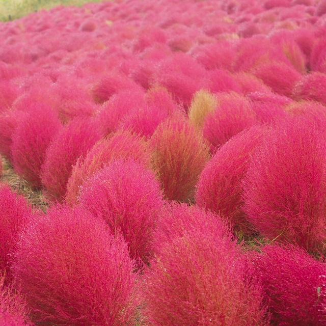 《秋の絶景②》コキアの紅葉が見頃!@ひたち海浜公園