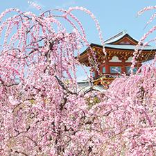 【412】枝垂れ梅咲き誇る早春の防府へ2/23(金)
