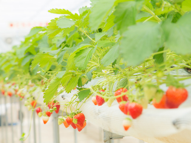 【プレゼント】おいしいイチゴを見分けよう!イチゴ検定