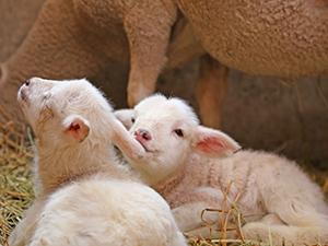 羊の赤ちゃん&350万本の菜の花畑も! 春のプチトリップはマザー牧場へ