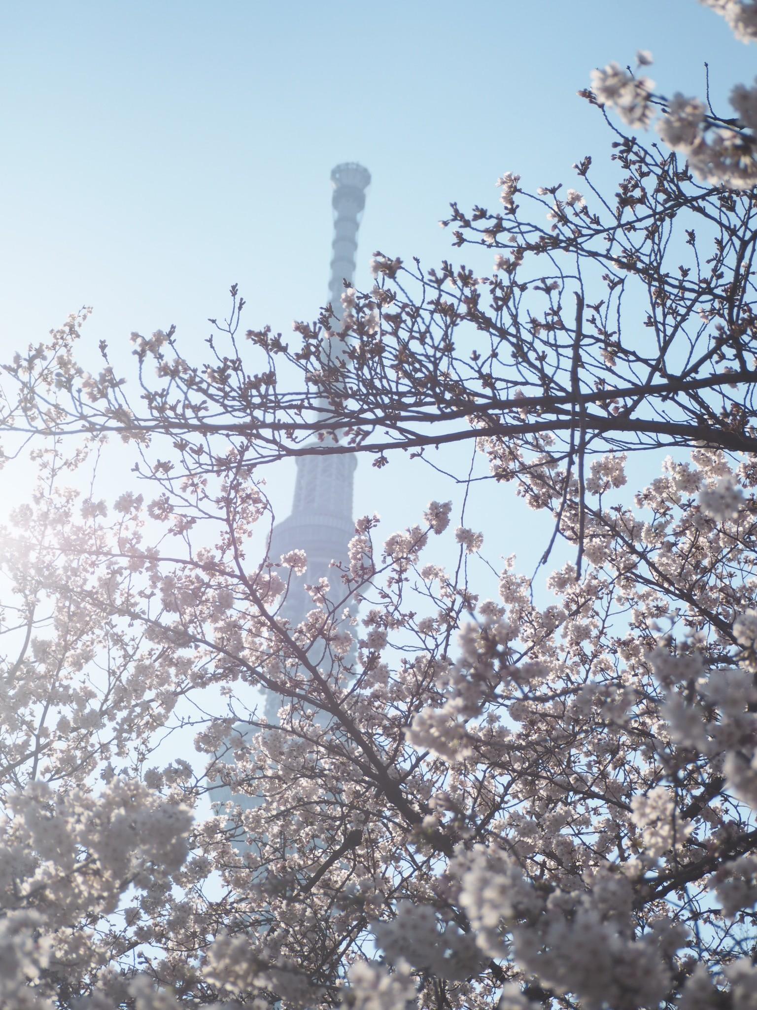 桜とスカイツリーのコラボ!隅田公園でお花見しました★
