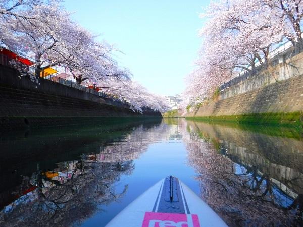 横浜で花見!横浜大岡川の桜並木は京急でアクセス!!
