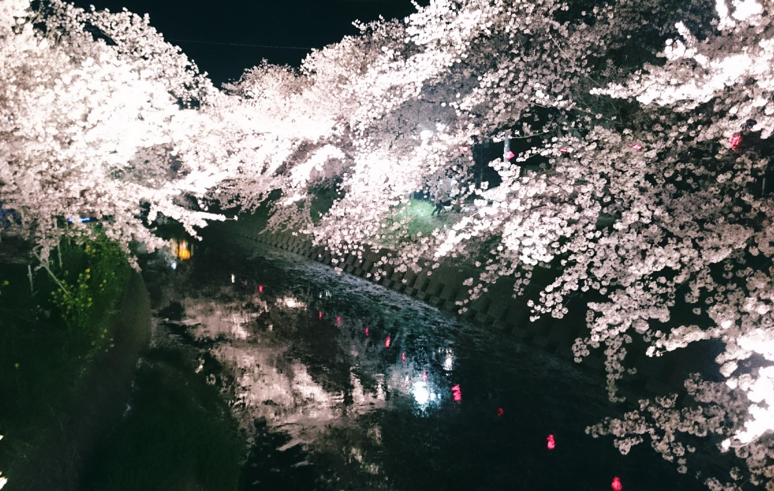 さくらの名所100選【岩倉・五条川】幻想的な夜桜が楽しめる♪