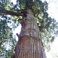 【495】巨樹とシャクナゲ・英彦山山麓鬼杉コース5/2(水)
