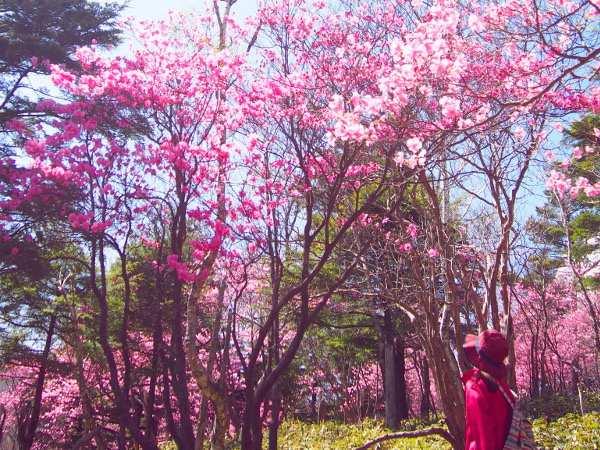 【春の登山】まさに桃源郷!アカヤシオ満開の袈裟丸山