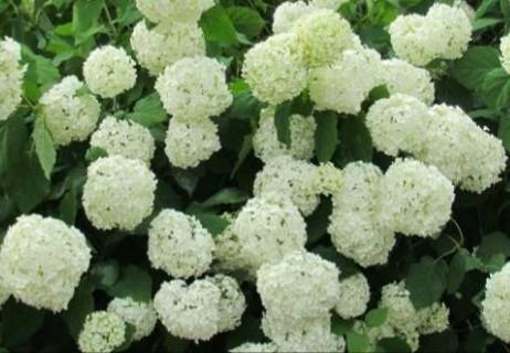 まるでブーケな白い紫陽花