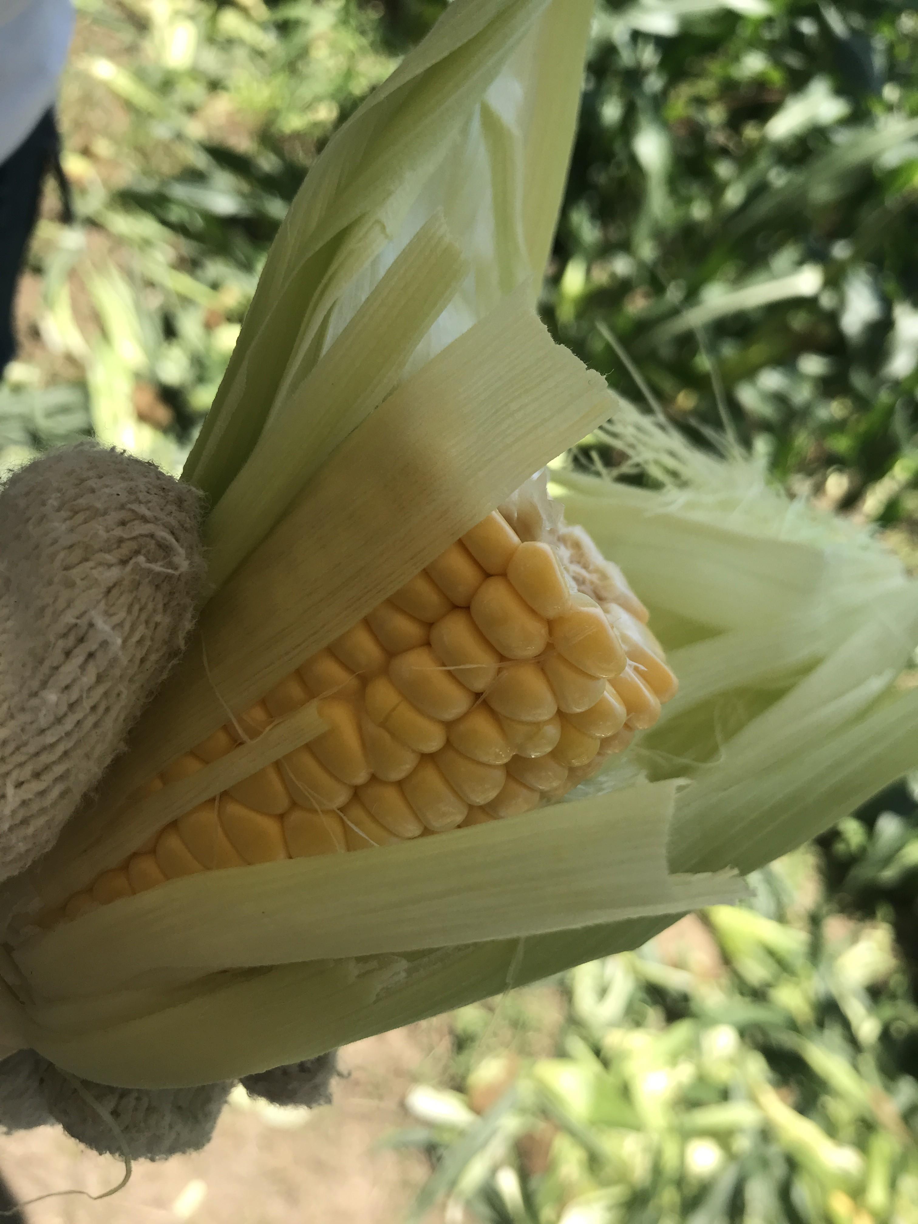 【続報】八百一の郷でトウモロコシの収穫体験!
