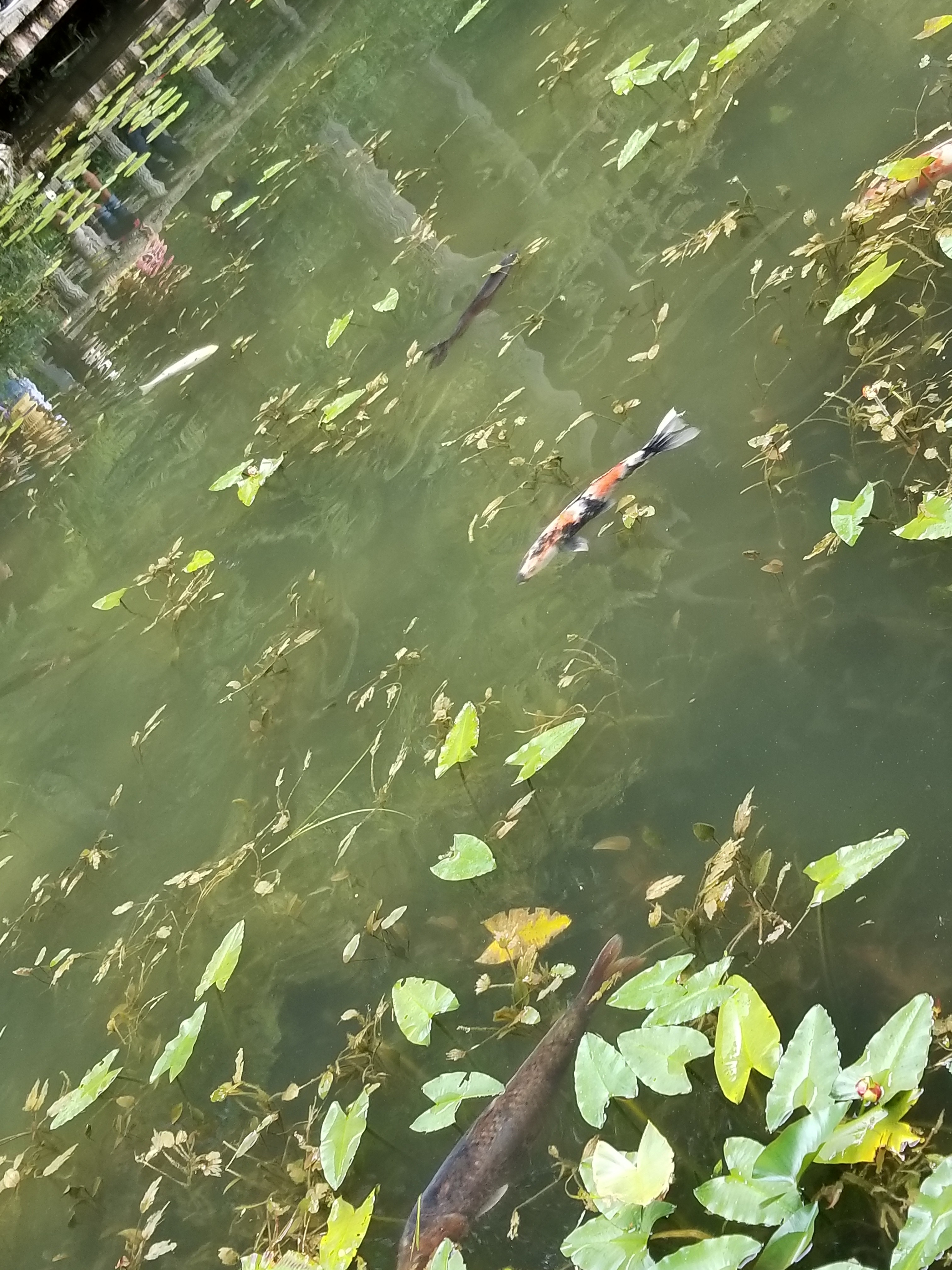 あの話題になったモネの池に行ってきました!