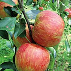 【207】リンゴ園の生搾りジュース付き・三瀬リンゴ狩り9/14(金)