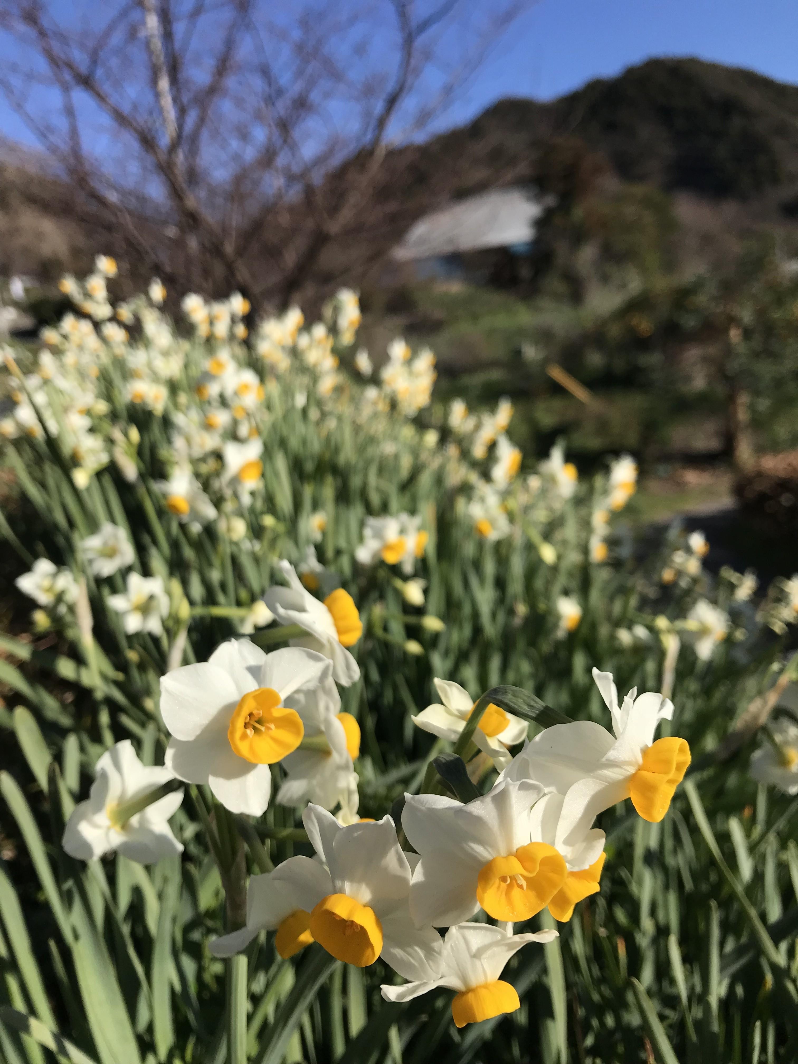 春を求めて水仙郷へいらっしゃい