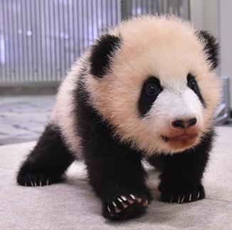パンダの赤ちゃん「彩浜(さいひん)」