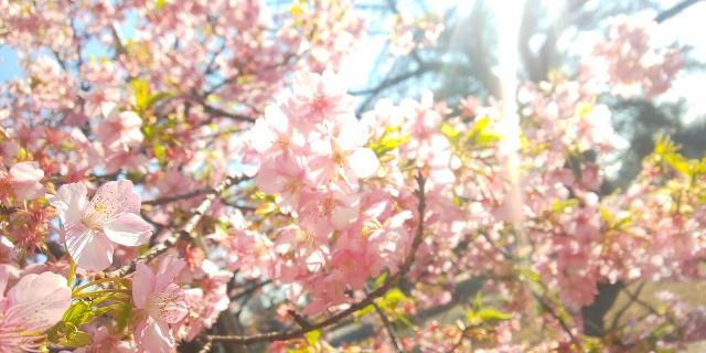早咲き桜と梅を堪能☆本格桜シーズン前に新宿御苑散歩