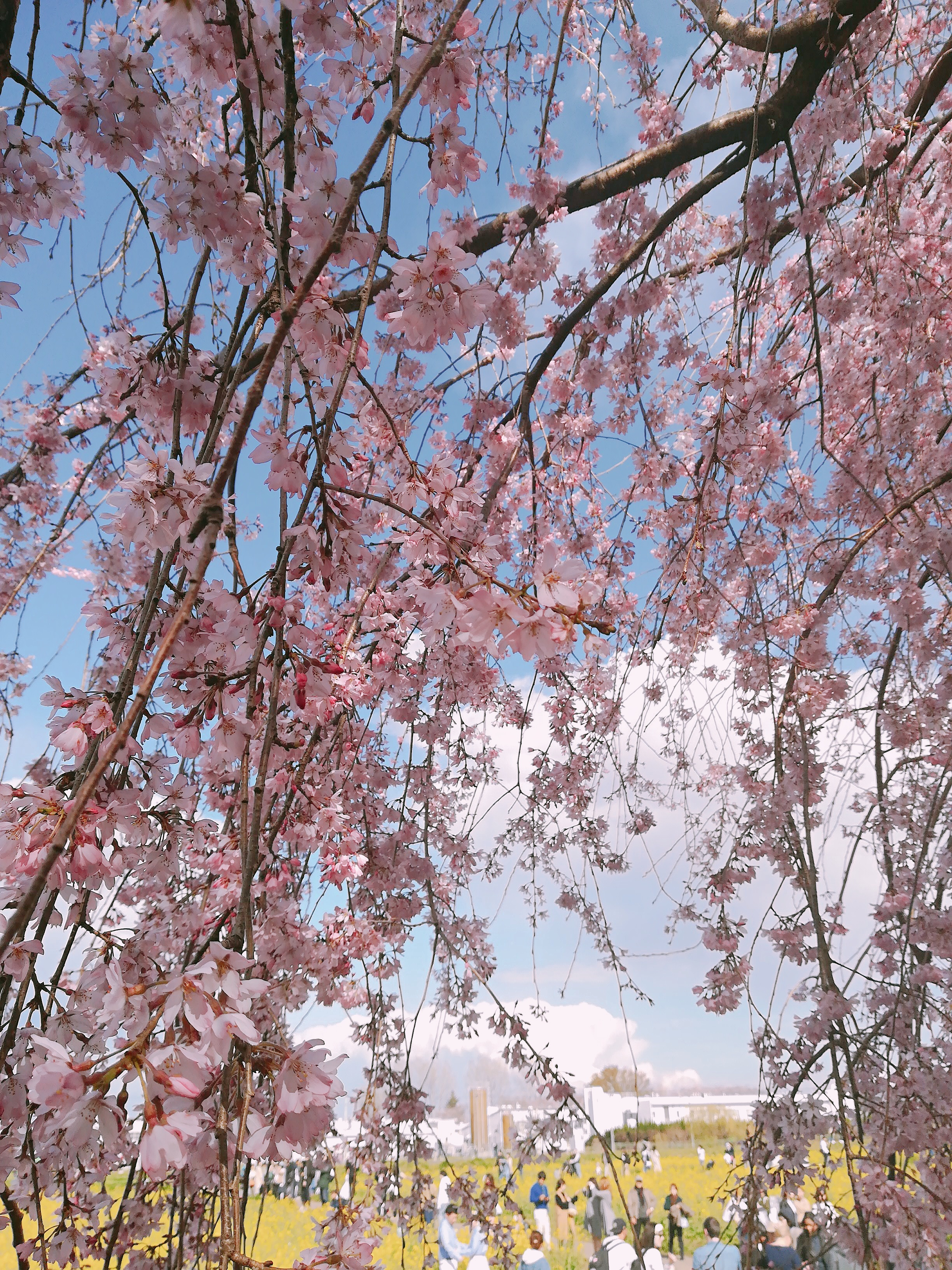 桜と菜の花を一度に満喫♡幸手権現堂桜堤