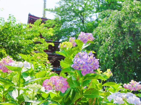 紫陽花の季節到来☆千葉の鎌倉へようこそ!
